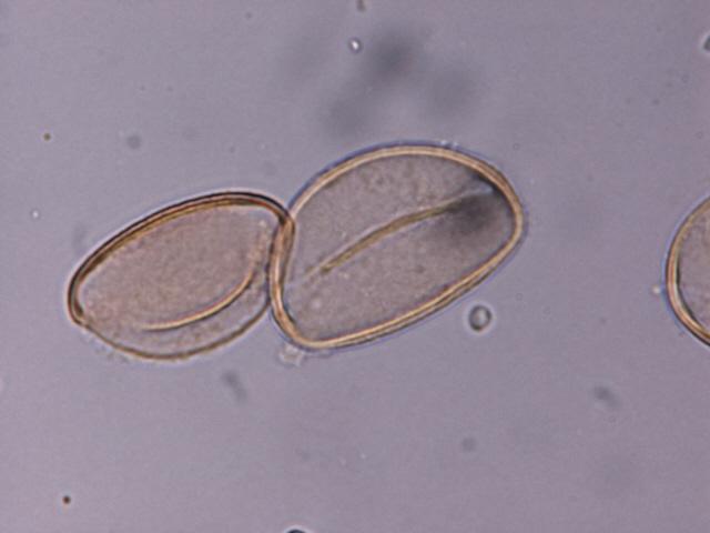 Allium triguetrum